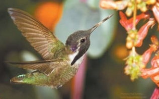 One of artist Paul Landau's specialties is his photographic capture of hummingbirds.